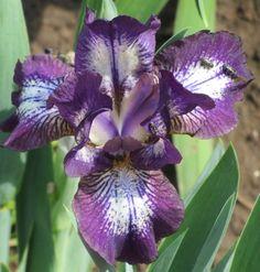 SDB Iris germanica 'Royal Decree' (Nichols, 1988)