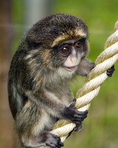 This baby De Brazza Monkey is about the cutest thing I have ever seen!