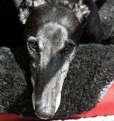 Chavez now Mikey GAC Greyhound Adoption Center Adoption Center, Greyhounds, Dogs, Animals, Beautiful, Animales, Animaux, Pet Dogs, Doggies