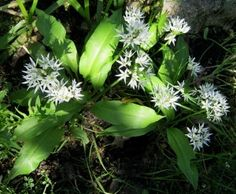 česnek medvědí  Allium ursinum Allium, Plants, Plant, Planets