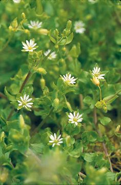 Chickweed - a wonderful edible weed