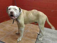 6 YEAR OLD BULLDOG NEEDS PLEDGES AND RESCUE! He has a mass on the side of his back. A4809019 I don't have a name yet and I'm an approximately 6 year old male amer bulldog. I am not yet neutered. I have been at the Downey Animal Care Center since March 17, 2015. https://www.facebook.com/photo.php?fbid=836782073068793&set=pb.100002110236304.-2207520000.1426791784.&type=3&theater