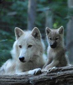 Mama & Cub Wolves
