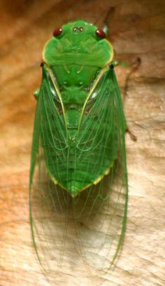 Northern Greengrocer Cicada (Cyclochila virens). Photo by David & Diane Armbrust.