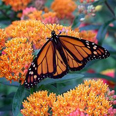 A calling card for Monarchs and other butterflies, butterfly weed is a bold plant with vibrant orange flowers that grow in June and July on 1 to 2-foot-tall stems. Zones 4-9