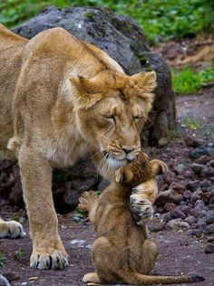 Lion and her cub
