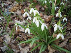 early spring Bulbs | The Spring Bulb Flowers