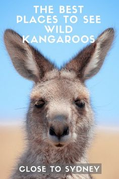 There's one thing every visitor to Australia want to do: see a wild kangaroo. There's nothing like spotting your first kangaroo bounding across the road or sparring on the golf course. Despite outnumbering humans, kangaroos aren't too easy to find, so we've compiled a list of the best places to see wild kangaroos near Sydney.