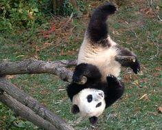 Panda cub at the National Zoo.