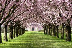 Kaufen Sie das Wandbild Pink blossom parkway von XXLwallpaper hier günstig online. Fototapeten auf Vliesträger im TapetenMax Shop bestellen.