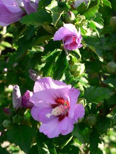 hibiscus syriacus freedom 2m fl 8cm fleurs. Black Bedroom Furniture Sets. Home Design Ideas