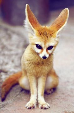 Fennec Fox. I want to domesticate this guy and keep his offspring as pets!