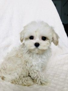 Tiny Micro Teacup Maltipoo Maltese Poodle Puppy For Sale Iheartteacups Maltese Poodle Puppies Puppies Poodle Puppies For Sale