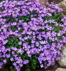 100 Aubrieta Cultorum Seeds For Drought Tolerant Rock Garden Of Villa Park In A Variety Of Places Perennial Ground Cover Plant Best Ground Cover Plants, Ground Cover Seeds, Perennial Ground Cover, Rare Flowers, Amazing Flowers, Thyme Flower, Flower Catalogs, Creeping Thyme, Purple Plants