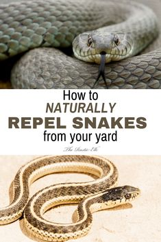 While most of us don't want snakes slithering around up close and personal, they do serve a purpose. Here's how to naturally repel them and keep them out of your yard. Backyard Farming, Chickens Backyard, Snake Repellant Plants, Mosquito Repelling Plants, Keep Snakes Away, Diy Pest Control, Weed Killer, Homestead Survival, Survival Tips