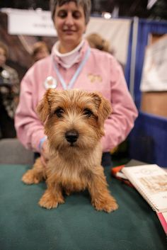 Norfolk. I have a friend who shows Norfolk Terriers.