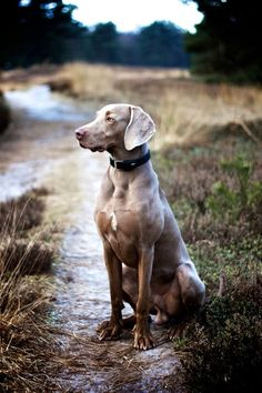 Weimaraner Saga ( salvia/sage) size: large exercise: high grooming: low trainability: easy