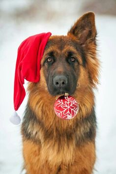 Merry Christmas everyone!  Your stunning! #dogs #pets #GermanShepherds facebook.com/sodoggonefunny                                                                                                                                                                                 More
