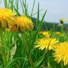 Ce trebuie sa stii ca sa iti pastrezi rinichii sanatosi - Infuzie de Sănătate Natural Treatments, Natural Remedies, Dandelion Leaves, Taraxacum Officinale, Metabolic Disorders, Harvest Time, In Ancient Times, Eating Raw, Plants