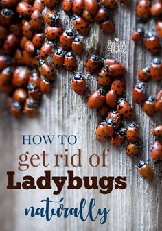 How to Get Rid of Ladybugs Naturally - Five Spot Green Living Herbal Remedies, Home Remedies, Natural Remedies, Bug Control, Pest Control, Asian Beetle, Ladybug House, Bug Trap, Home