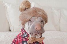 Cute Shar Pei named Paddington loves dressing up