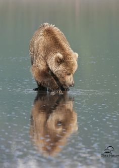 funnywildlife: Vertical Reflecting Brown Bear by Glatz Nature Photography on Flickr.