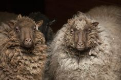 My personal favorites because they are so easy to shear! ;) Shetland Sheep