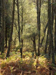 silver birch trees growing amongst the bracken (ferns), Argyll, Scotland.  Photo: spodzone via Flickr