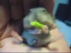 Mini Vídeos de Animalitos, como estos de hamsters glotones.