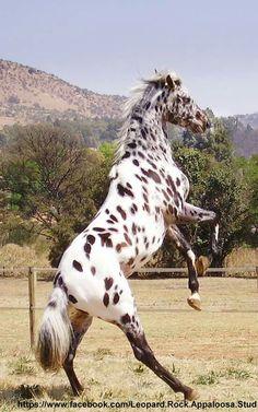 Appaloosa Sport Horse
