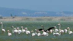 A rare black flamingo is seen in sharp contrast among other flamingos, at a salt lake at the Akrotiri area near costal city of Limassol, Cyprus, Thursday, April 9, 2015. (AP / Pavlos Vrionides)