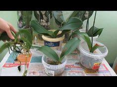 Пять орхидей из мусорки: мучнистый червец /корни/ обработка... - YouTube