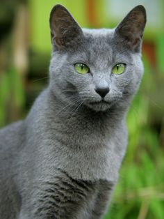 Discover The Russian Blue Cats - Belezza,animales , salud animal y mas American Bobtail, Beautiful Cats, Animals Beautiful, Cute Animals, Blue Cats, Grey Cats, Cute Kittens, Cats And Kittens, Cool Cats