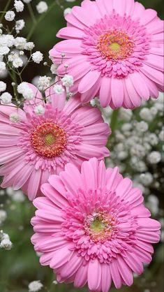 Daisy Wallpaper, Flower Background Wallpaper, Flower Backgrounds, Gerbera Flower, Pink Gerbera, Gerbera Daisies, Pink Flowers, Beautiful Flowers, Unique Flowers