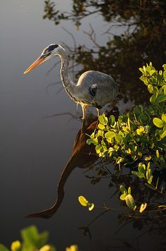 Great Blue Heron -  they are so majestic
