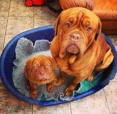 #Dogue #de #Bordeaux washing their feet xD Hilarious! Seems like the world ended when their owners made them sit there