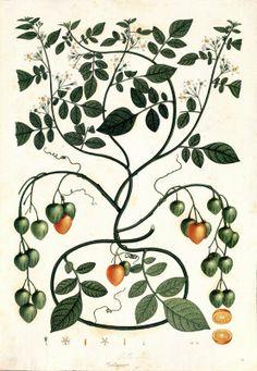 Solanum. Proyecto de digitalización de los dibujos de la Real Expedición Botánica del Nuevo Reino de Granada (1783-1816), dirigida por José Celestino Mutis: www.rjb.csic.es/icones/mutis. Real Jardín Botánico-CSIC.