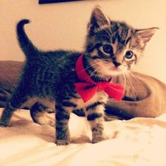 bow-ties are cool. even on kittens