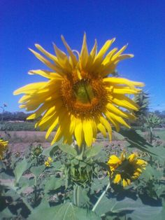 Queen Creek Arizona Sunflower Patch