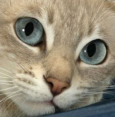 Mymystic Chiffon is a lustrous-eyed girl who loves to chat to the camera! - I love cats ❤ - Pretty Cats, Beautiful Cats, Animals Beautiful, Pretty Kitty, Gorgeous Eyes, Amazing Eyes, Beautiful Life, Animals And Pets, Baby Animals