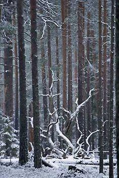 Talvi on tulossa Pyhä-Häkin metsiin. Kuva: Mikael Hintze