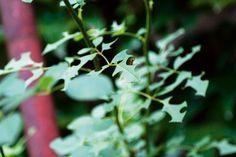 Ako ochrániť ruže pred škodcami 6