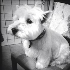 I love my dog :-) - west highland white terrier