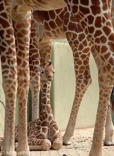 Blijdorp, Rotterdam Zoo, NL giraffe