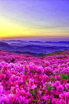 Sunrise and Royal Azalea - azaleas aren't exactly a wildflower, but too beautiful not to pin:)