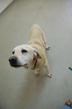 **LURCH - SENIOR - Yellow Labrador Retriever** • Male • Large Humane Society Serving Crawford County Bucyrus, OH ~LK~  November is ADOPT A SENIOR Pet Month! Help a senior at your local shelter live out his/her golden years in comfort!  https://www.petfinder.com/petdetail/30577676/  Humane Society Serving Crawford County 3590 State Route 98 Bucyrus, Ohio 44820 (419) 562-9149