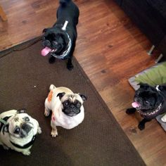 Pug reunion at work.