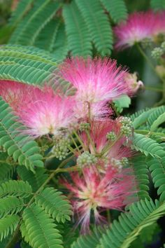 Albizia julibrissin Seeds £2.56 from Chiltern Seeds - Chiltern Seeds Secure…