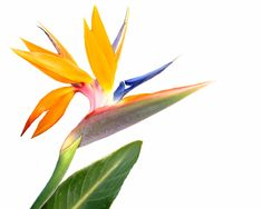 The Bird of Paradise plant is poisonous to dogs and cats. If your pet has ingested this plant, contact your veterinarian or Pet Poison Helpline 800-213-6680.