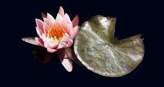Flower floating on water by ArtbyAlishaJurgens on Etsy